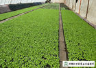 100 % Pure Farm Fresh Green Cabbage Common Cultivation Type No Fleck
