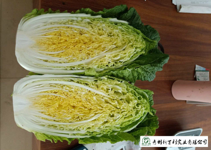 Big Size Fresh Chinese Cabbage Own Plantation Supply To Supermarket