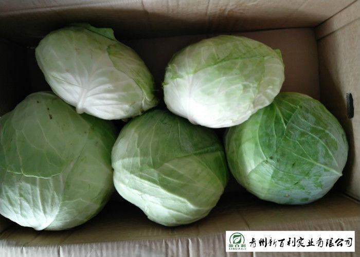 Cold Tolerant Common Cabbage Vegetable Low Calories Easy Store Fit Wholesaler