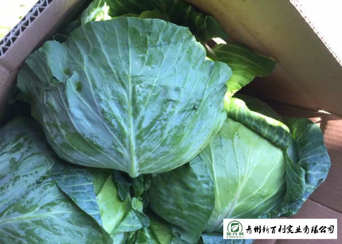 Big Size Late Flat Dutch Cabbage No Slight Crack Growing Without Pollution