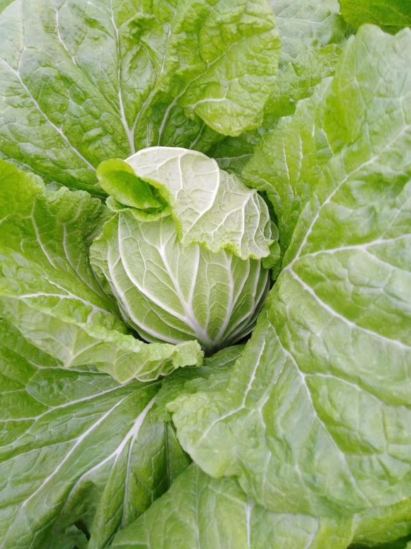 Japan Standard Fresh Green Cabbage Big Size Own Plantation Delicious Taste