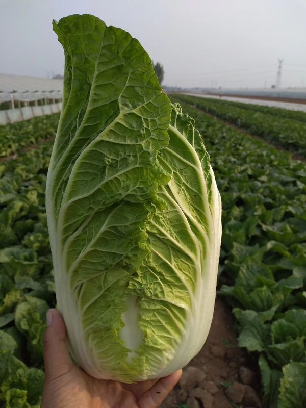 Healthy Organic Napa Cabbage / Slim Figure Chinese Green Cabbage