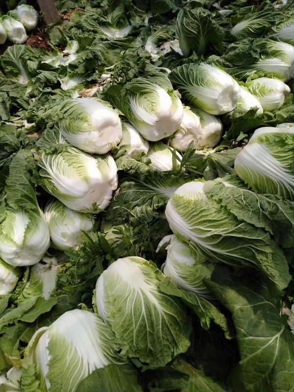 Milky Juice Organic Chinese Cabbage With Clean And Smooth Surface